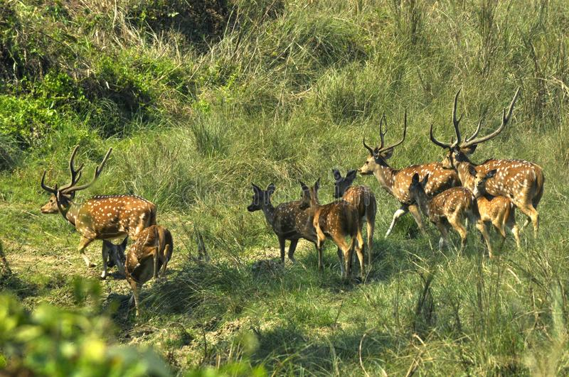 Spotted deer. Wildlife, safari on the border of Nepal and India. royalty free stock image