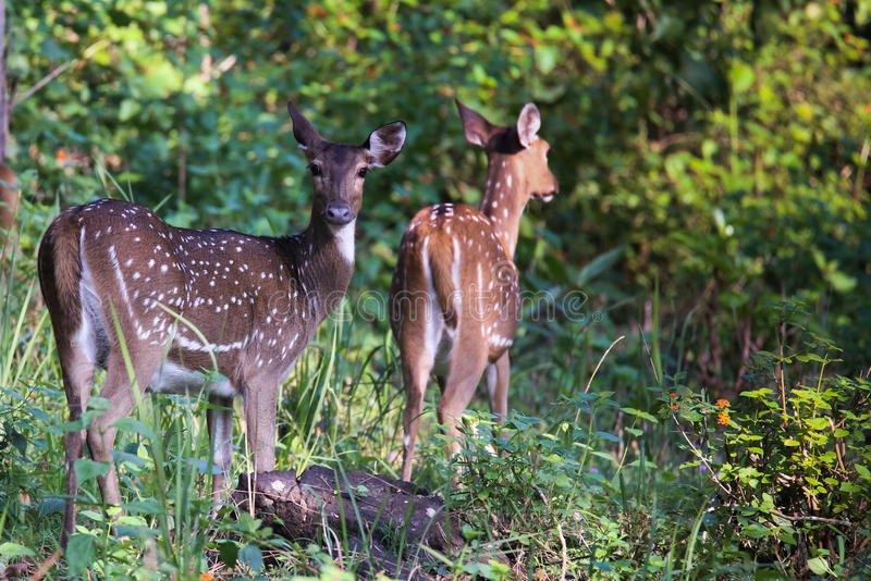 Spotted deers. Canon 6D f4 1/2500 ISO 500 400mm Spotted deers(Axis deer) sighted in the forests of South India royalty free stock photo