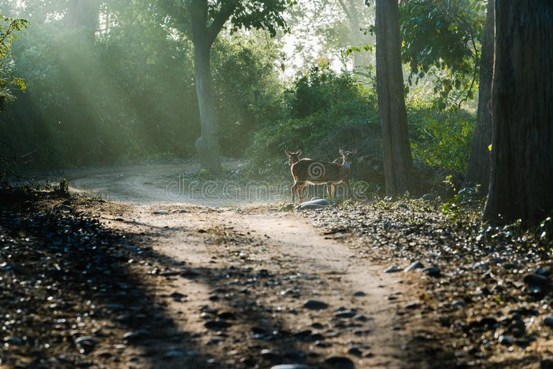 Spotted Deers under sun rays stock photos