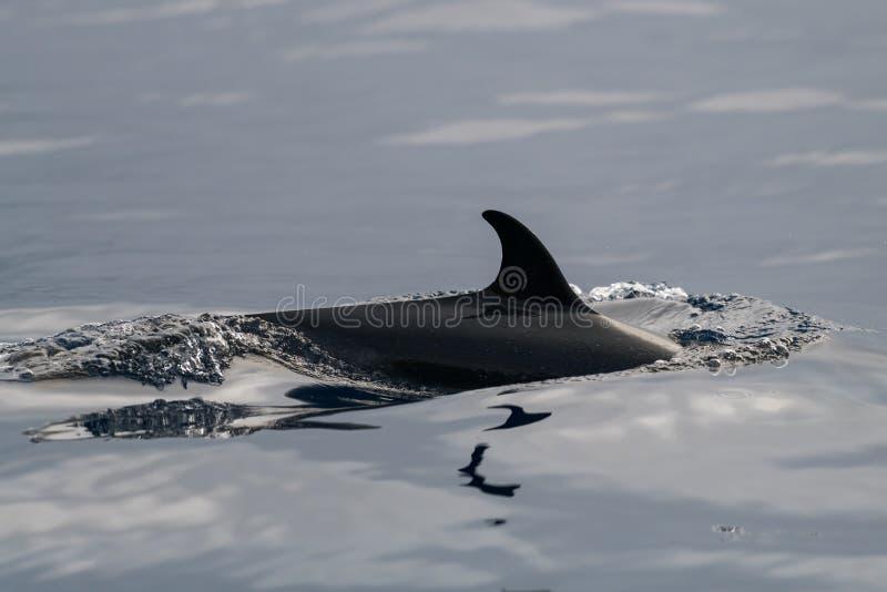 Spotted dolphin dorsal fin. Hawaii, Maui, Lahaina, Winter stock image