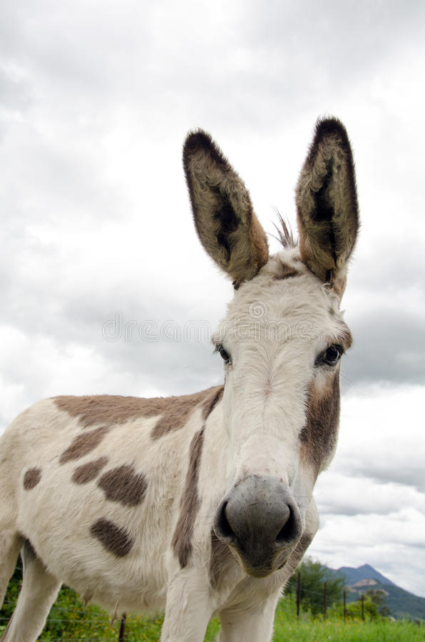 Spotted donkey royalty free stock photo