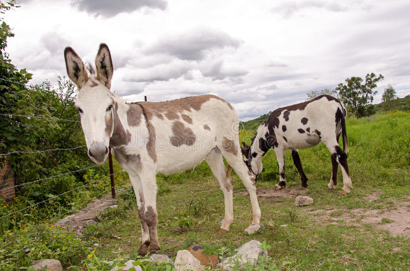 Spotted donkeys royalty free stock image