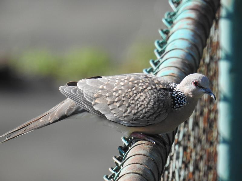 Spotted dove Bird, Chittagong stock photos