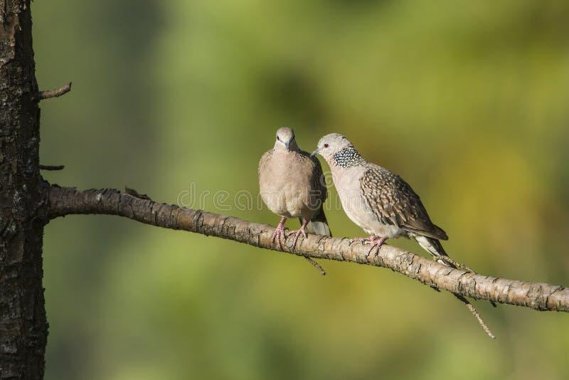 Spotted dove in Ella, Sri Lanka. Specie Streptopelia chinensis stock image