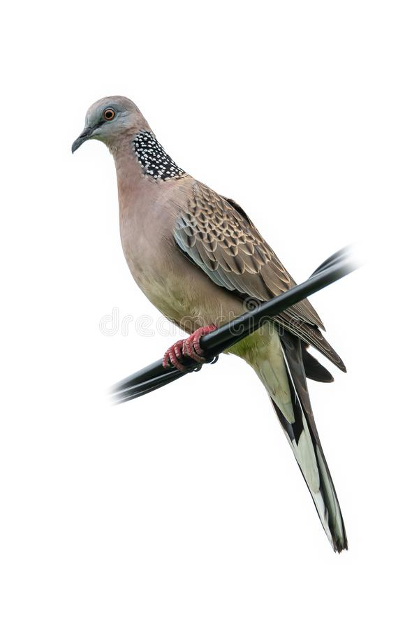 Spotted dove perching on black wire isolated on white background. Chiang Mai, Thailand royalty free stock photography