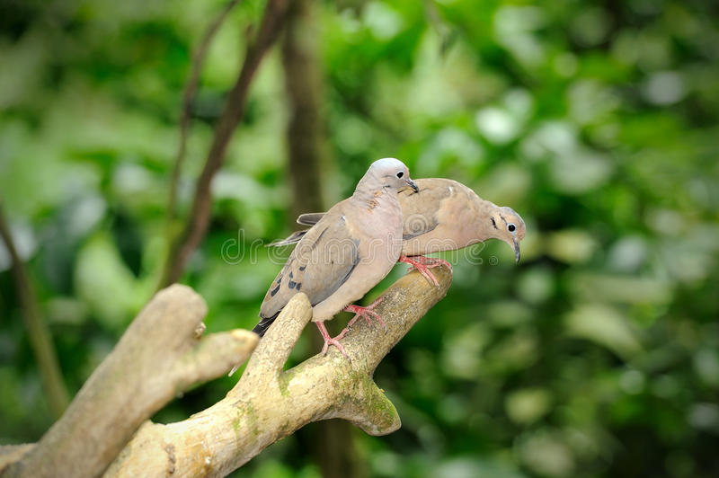 Spotted Dove (Streptopelia Chinensis) stock images