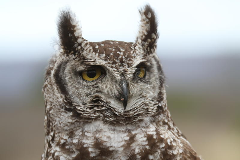 Spotted Eagle Owl. A beautiful portrait of a Spotted Eagle Owl in African bird of pray South Africa stock photos