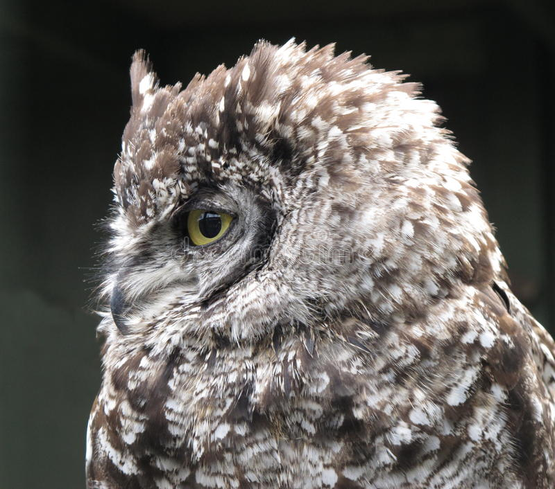 Download Spotted Eagle Owl Bubo Africanus Stock Photo - Image of feathers, aves: 26029572