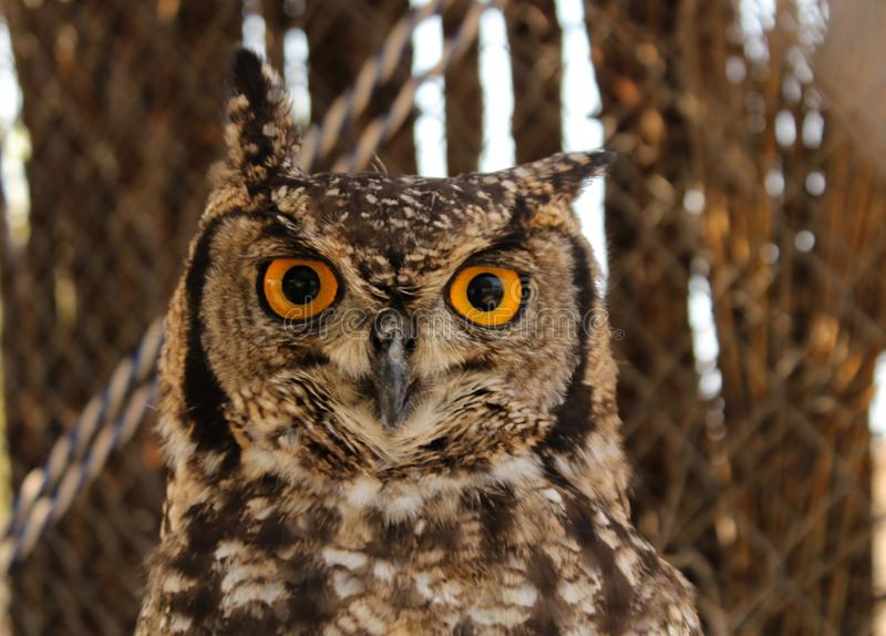 Portraits of animals - Spotted Eagle Owl stock images