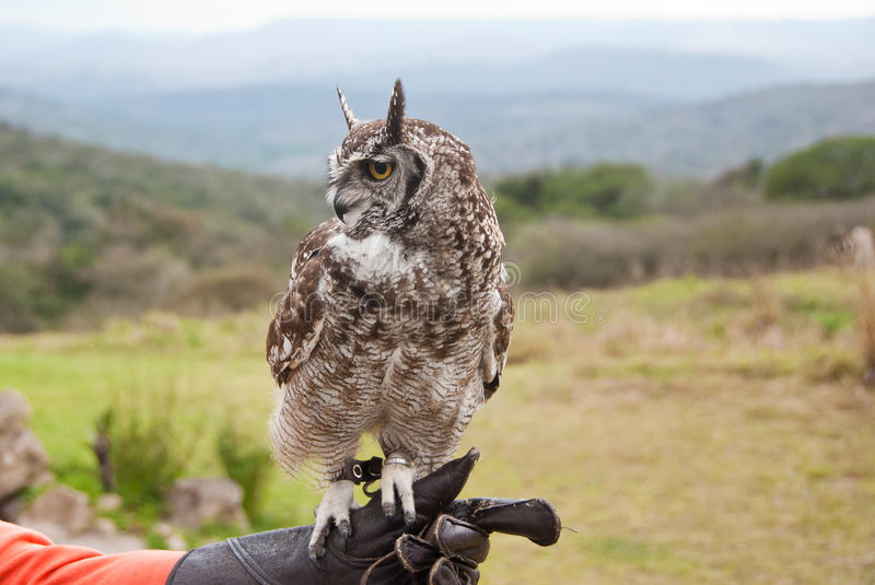 Spotted eagle-owl. Sitting on a hand of a falconer in Birds of Prey rescue centre stock image