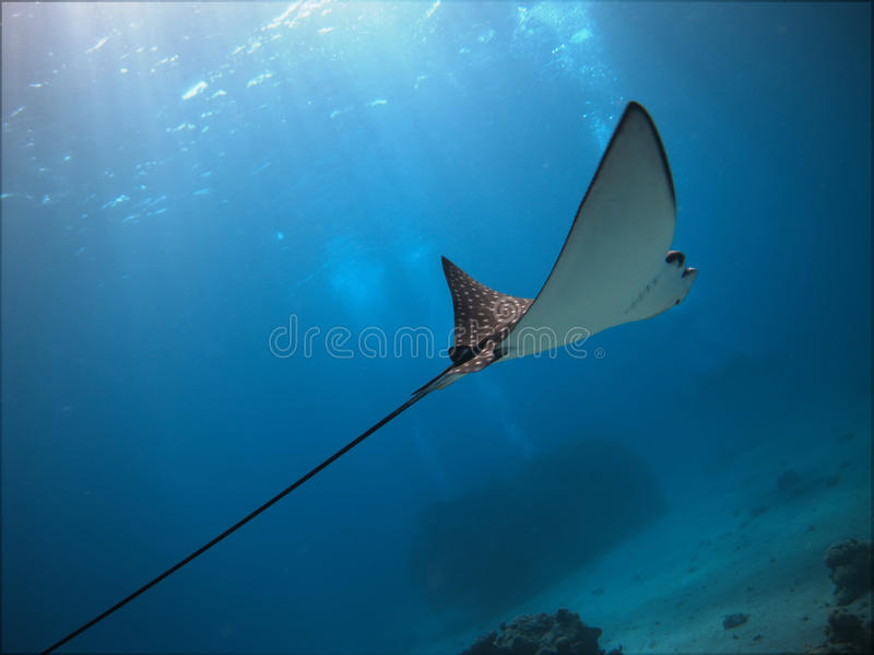 Spotted Eagle Ray royalty free stock photography