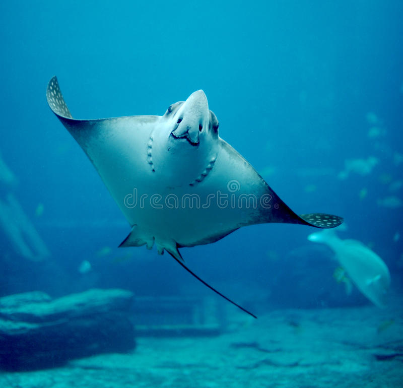 Spotted Eagle-ray royalty free stock images