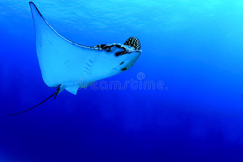 Download Spotted eagle ray stock photo. Image of tropical, spotted - 24490722