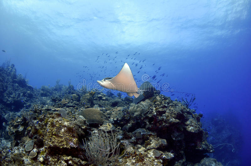 Download Spotted Eagle Ray stock image. Image of relaxing, boat - 26714801