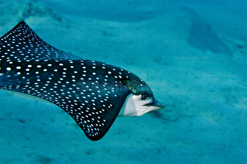 Download Spotted eagle ray stock photo. Image of eretmochelys, exotic - 4081664