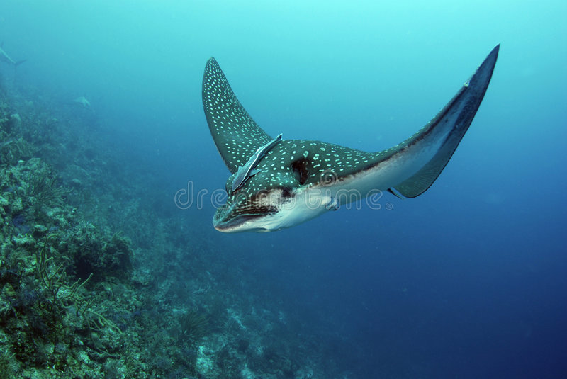 Spotted Eagle Ray stock photos
