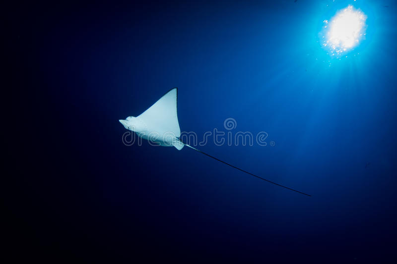 Spotted Eagle Ray - Aetobatus ocellatus - swimming below the sun. stock photography