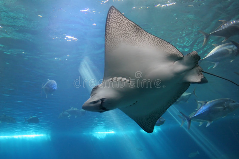 Spotted Eagle Ray and Giant Tr stock photography