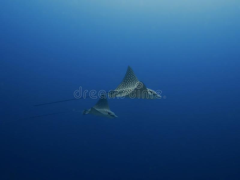 Download Spotted Eagle Rays Gliding Through The Ocean, East Coast Of Bonaire, Dutch Antilles. Stock Photo - Image: 83724792