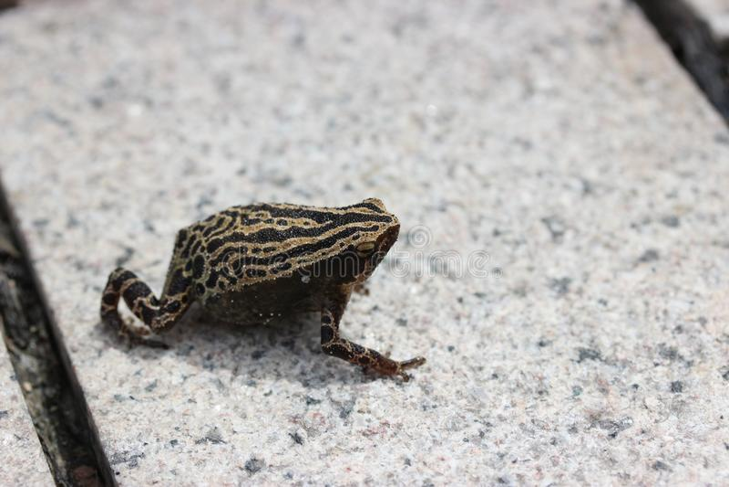 Spotted Estrecho-articuló el interlineatus de Kalophrynus de la rana en Hong Kong Wetland Park imagen de archivo
