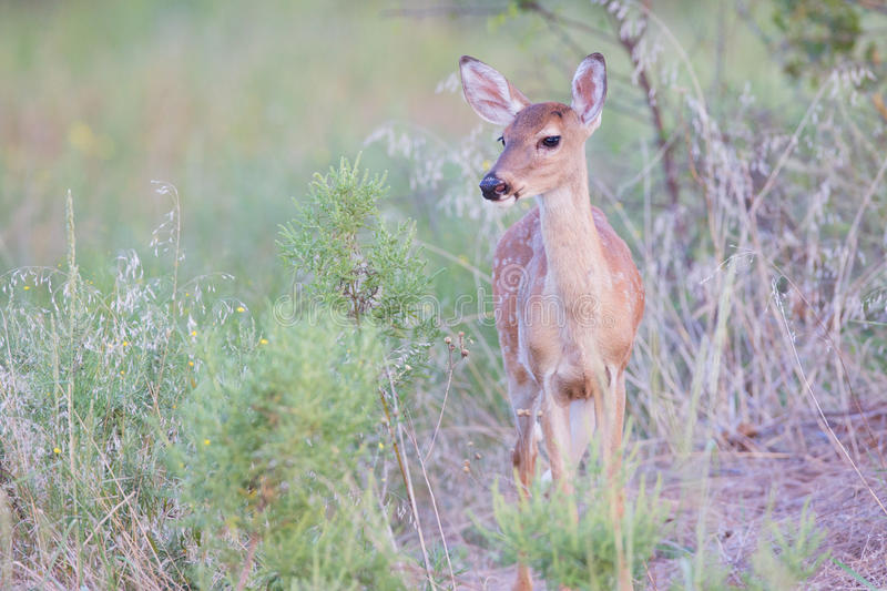 Spotted fawn in spring stock images