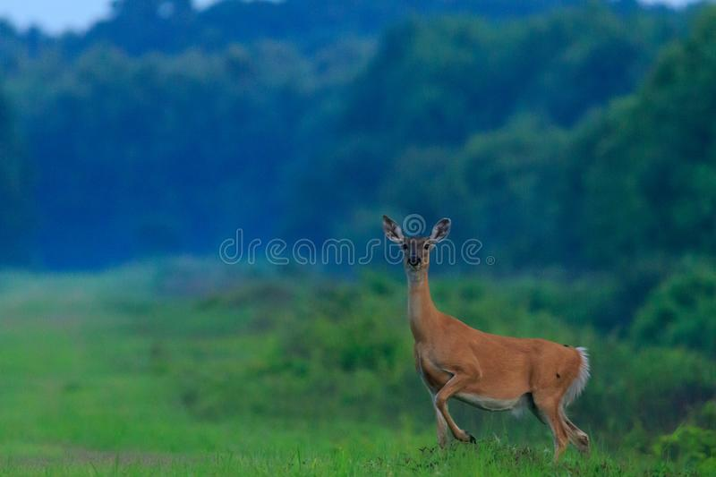 Spotted. A female Deer comes out of the brush and is about to flee after noticing I`m there. Taken at the Bald Knob Wildlife Refuge located in Bald Knob stock photography