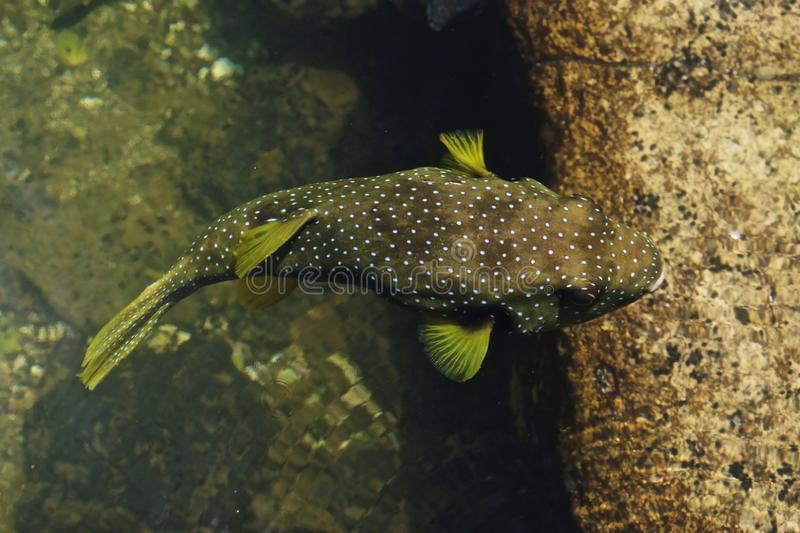Spotted fish. From the natural fish pond in Mauna Lani zhawaii stock image