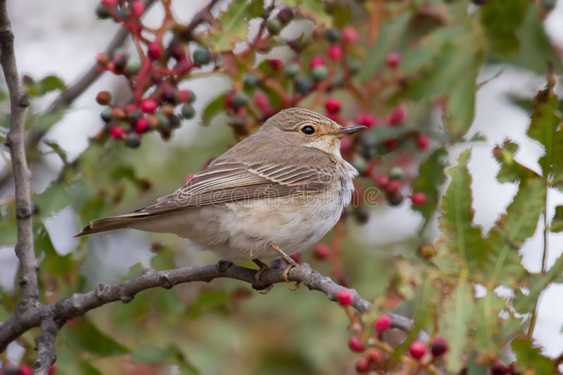 Download Spotted Flycatcher stock photo. Image of branch, feather - 17539264