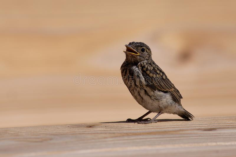 Spotted flycatcher chick. A spotted flycatcher chick that just flew out of the nest, rests on a wooden table before trying its wings again