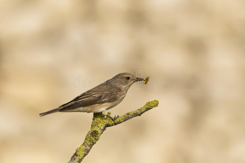 Spotted flycatcher Muscicapa striata royalty free stock image