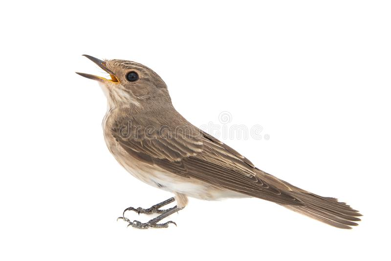 Spotted Flycatcher, Muscicapa striata, isolated on a white background royalty free stock images