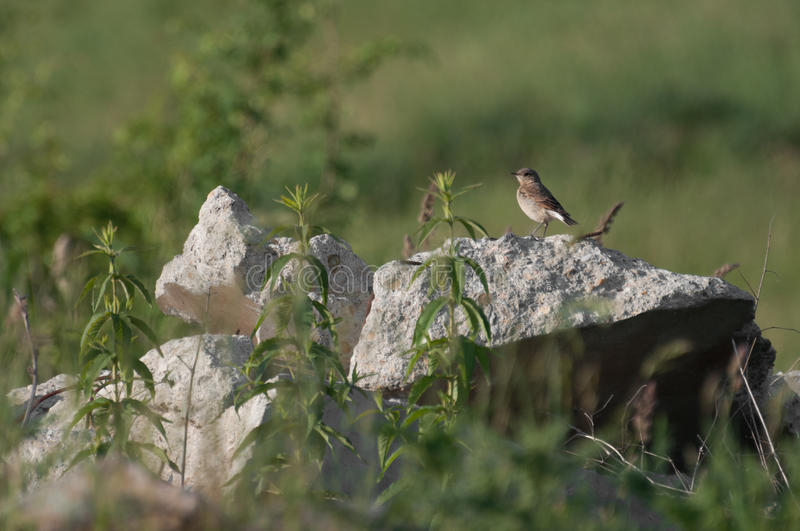 Spotted Flycatcher (Muscicapa striata) resting on a rock stock photos