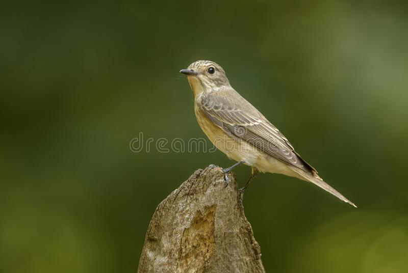 Spotted Flycatcher - Muscicapa striata stock image