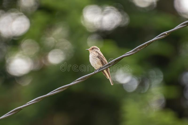 Spotted Flycatcher  Muscicapa striata sitting on the branch in the forest stock photography