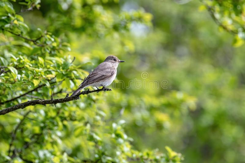 Spotted Flycatcher  Muscicapa striata sitting on the branch in the forest royalty free stock photo