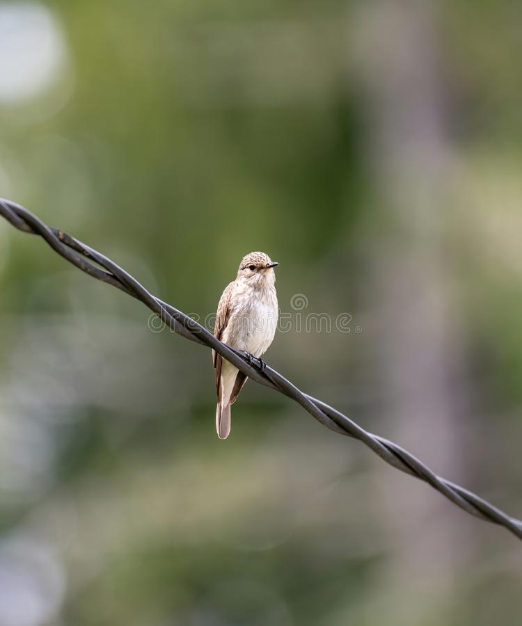 Spotted Flycatcher  Muscicapa striata sitting on the branch in the forest royalty free stock images