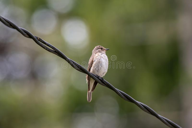 Spotted Flycatcher  Muscicapa striata sitting on the branch in the forest stock photos