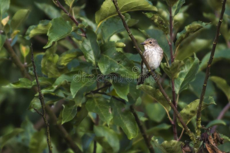 Spotted flycatcher Muscicapa striata royalty free stock photo
