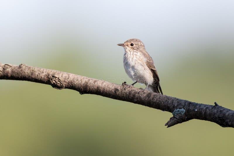 Spotted Flycatcher (Muscicapa striata) stock photo