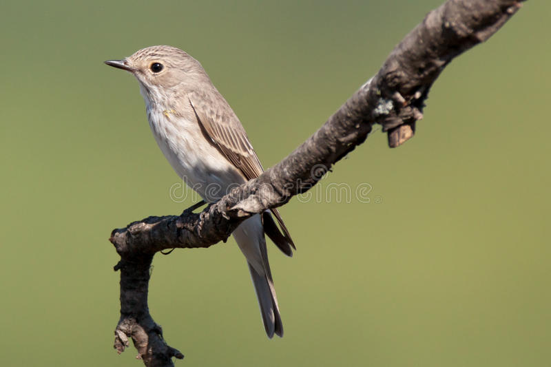 Spotted Flycatcher (Muscicapa striata) royalty free stock images