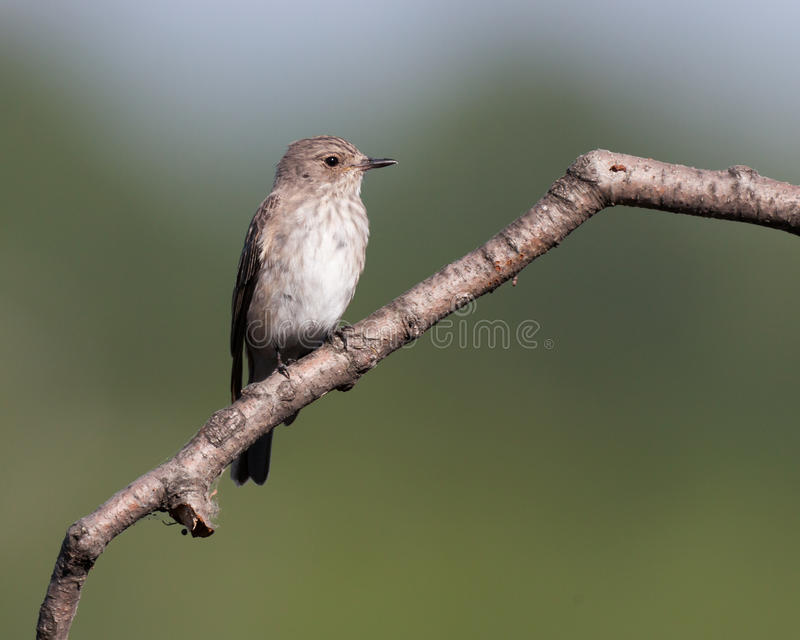 Spotted Flycatcher (Muscicapa striata) royalty free stock photo