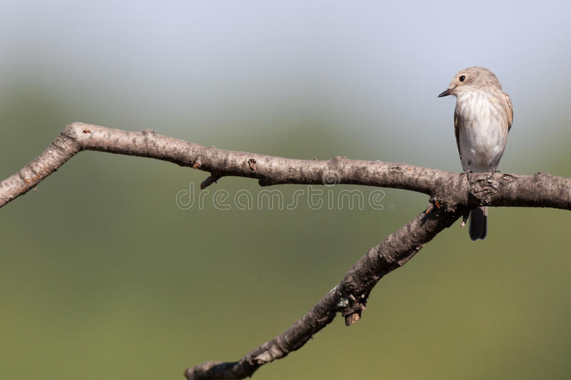 Spotted Flycatcher (Muscicapa striata) stock photography