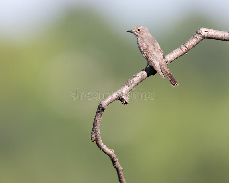Spotted Flycatcher (Muscicapa striata) stock photos