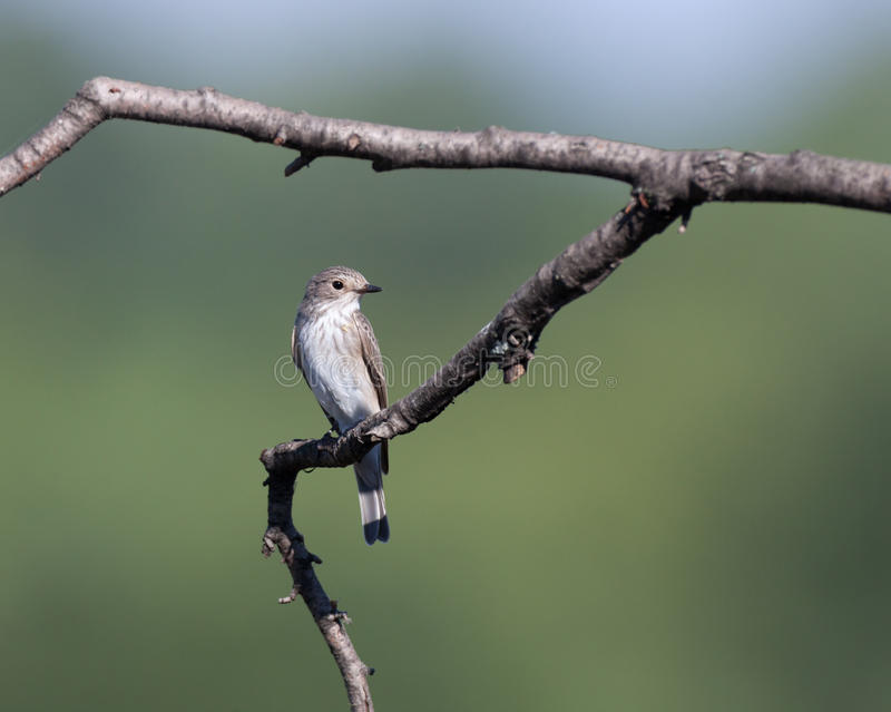 Spotted Flycatcher (Muscicapa striata) stock photography
