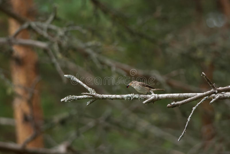 Spotted Flycatcher. In the woods with a prey royalty free stock photo