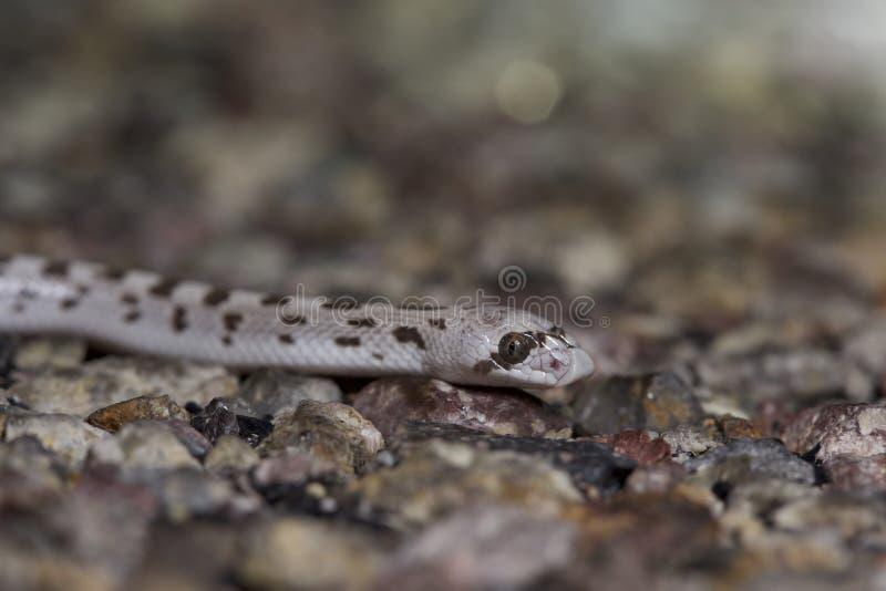 Spotted Folha-cheirou a serpente imagem de stock