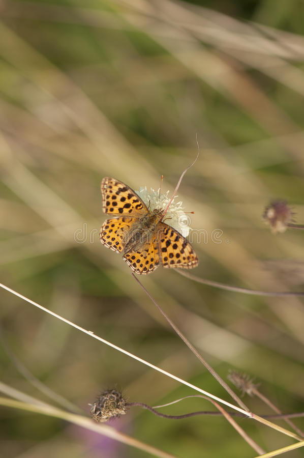 Spotted fritillary butterfly stock photography