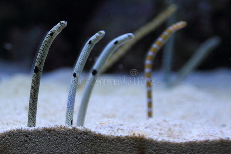 Spotted Garden Eel. S in water royalty free stock images