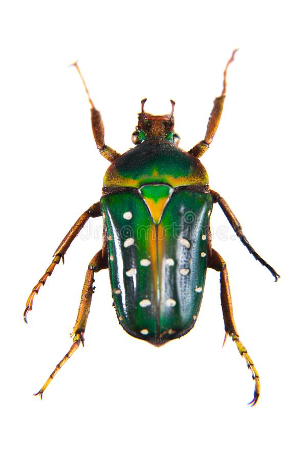 Spotted green beetle on the white background royalty free stock photo