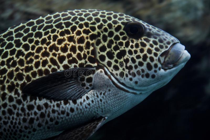 Spotted Grouper royalty free stock photos